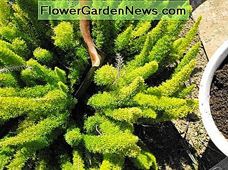 propagate the foxtail fern
