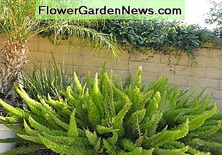 35 year old foxtail fern