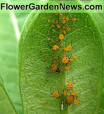 They look large, but aphids are actually very small, and large populations of them can turn leaves yellow. They can also produce a sticky stubstance that turns black with moldy growth.
