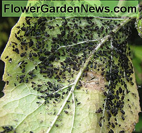 Extremely heavy infestation of black aphids