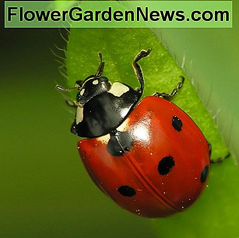 If you are plagued with aphids in your garden, this little ladybug should be your new best friend.