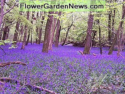 Bluebells in Bigsweir Wood