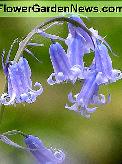 Common bluebell is anything but