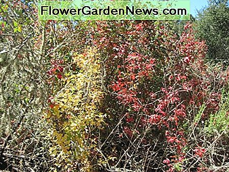 This multi-color poison oak shows the diversity of color to be seen in October oak leaves.