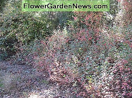 This is a typical side of the road display of poison oak in partial shade. Part of it is climbing up the trees, and part is lining the roadside, and part is creeping into the road.