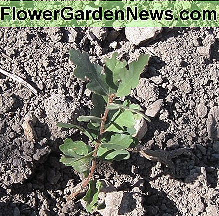 White oak seedling: Although the leaves are lobed around the edges (or they may look like holly if they are live oaks), they are single leaves and have a more dull than shiny surface. They are often growing right next to poison oak.