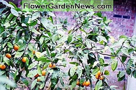 Satsuma trees bear in the fall of the year in South Louisiana. The sweet smelling flowers attract pollinators.