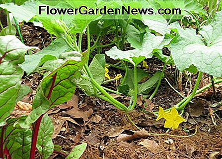 Cucumbers and Swiss chard in a lasagna garden which is mulched with leaves and pine straw.
