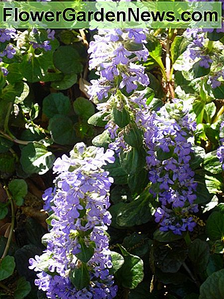 Ajuga in bloom