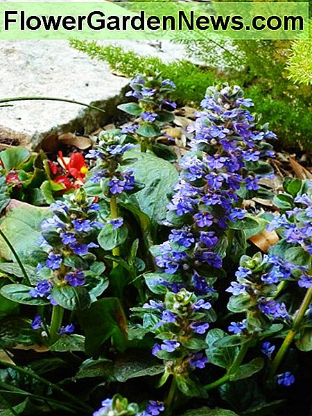 Ajuga blooming in our backyard garden.