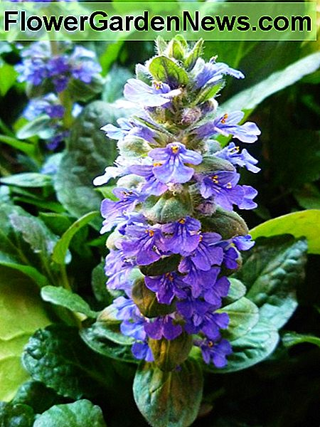 Ajuga plant in bloom.