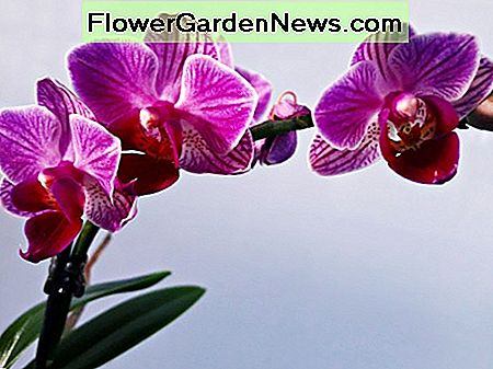 Basis Orchid Growing Tips