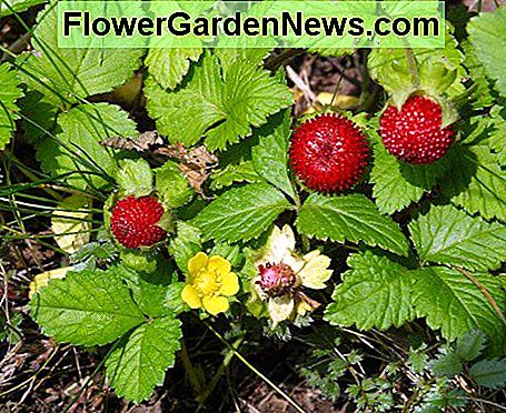 Mock strawberries.