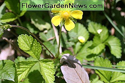 Flower of the mock strawberry plant.