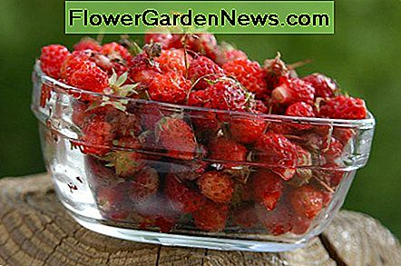Wild Strawberries vs. Mock Strawberries: What's the difference?