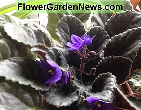 African Violet (Saintpaulias) is another plant that can help remove indoor pollutants.