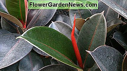 Ficus Elastica Robusta (Indian Rubber Tree) helps cleans indoor air.