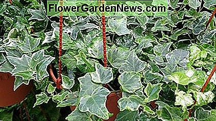 English Ivy (Hedera Helix), also known as Common Ivy.