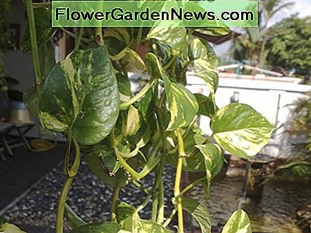 Golden Pothos or Money Plant (Epipremnum Aureum).
