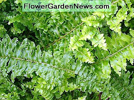 The Ornamental Fern (Nephrolepis Exaltata Bostoniensis) is also known as a Fluffy Ruffles Fern.