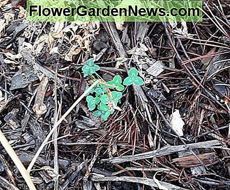 Clover is a very common nitrogen-fixing ground cover. Once added to lawn mixes, it is now considered a weed, thanks to the development of broadleaf herbicide. It comes in numerous varieties.