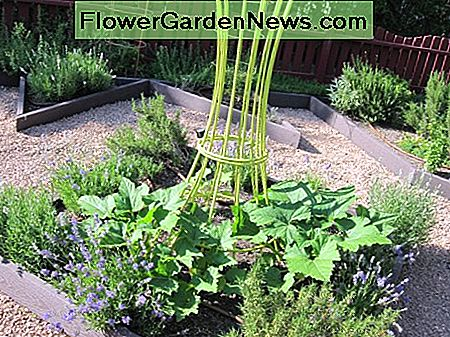 In this example of a potager garden bed, rosemary and lavender plants surround a planting of squash, which will climb the center trellis as it grows to add vertical interest to the garden.