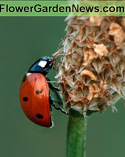 This ladybug is only eating the insects that damage your plants in the garden. Ladybugs do no damage, but they love the