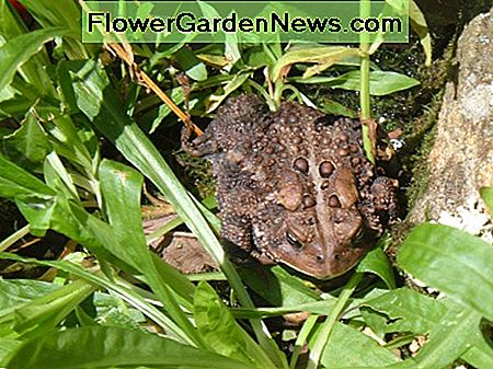 A Toad In Our Garden
