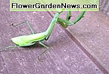 Bad Bugs Beware! This Praying Mantis is on the hunt.