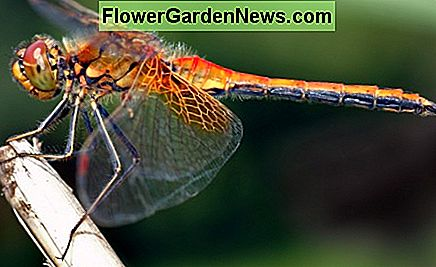 The Yellow Winged Darter is a fearsome bug predator