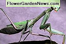 The Good Bugs in the Garden: Beneficial Insects aantrekken