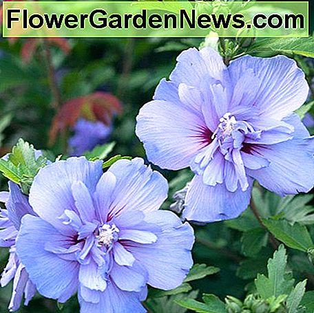 This is an example of the Hibiscus Syriacus Blue Chiffon (Rose of Sharon). The double Rose of Sharon blooms are very similar to many other varieties of hibiscus.