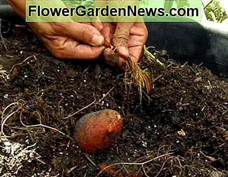 Growing Sweet Potatoes in a Container