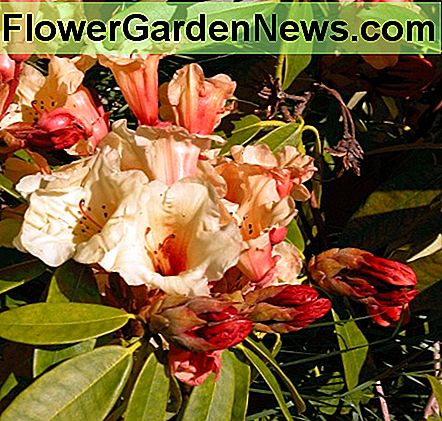 Colorful Rhododendrons - evergreen interest