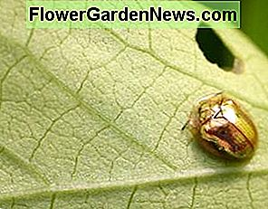 Neem for golden tortoise beetles