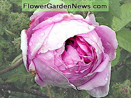 Centifolia rose (Cabbage Rose)