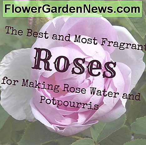 Old-fashioned rose shrubs make the most fragrant rose waters and potpourris.