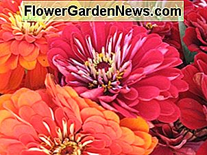 Growing Zinnia Flowers: Easy Plants voor uw landschap en containers