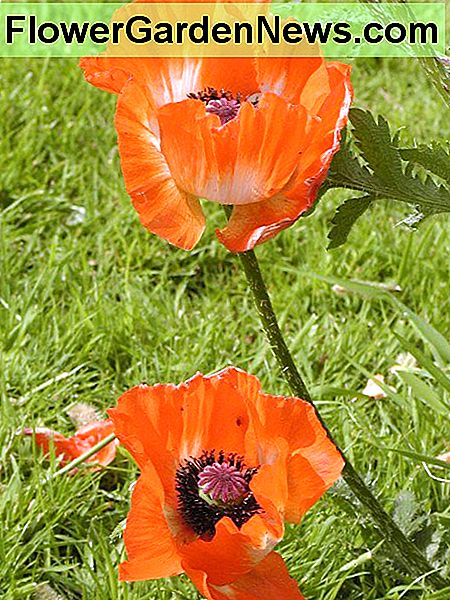 Oriental Poppies - I harvested seeds from these in the late summer