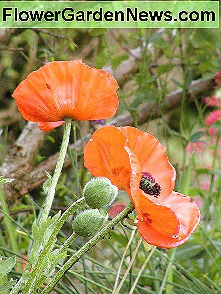 The poppies I sowed earlier in the year.