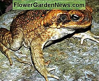 Cane toads are a pest even though they eat huge quantities of insects.