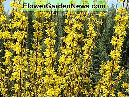 Forsythia bloom before they leaf out in the spring.