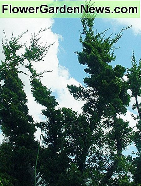 Hollywood juniper is an attractive, hearty, large growing shrub with contorting branches.