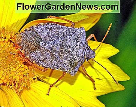 This is the brown marmorated stink bug. Not known to bite humans, but their tendency to invade homes in high numbers can be extremely frustrating. They release an odor when disturbed or crushed much like the smell of dirty feet.