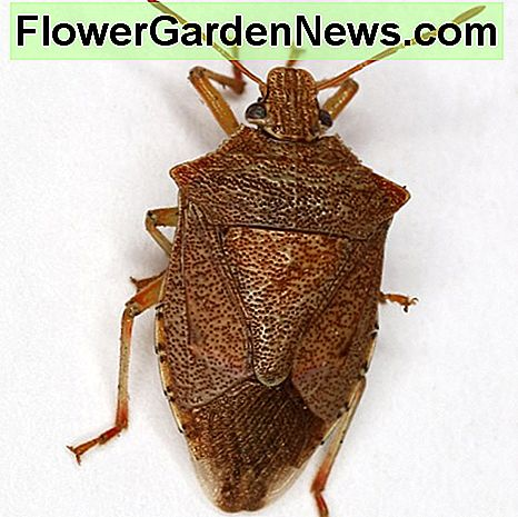The spined soldier stink bug is a predator of gypsy moth caterpillars and the larvae of beetles such as the Colorado potato beetle and the Mexican bean beetle, making them beneficial garden bugs.