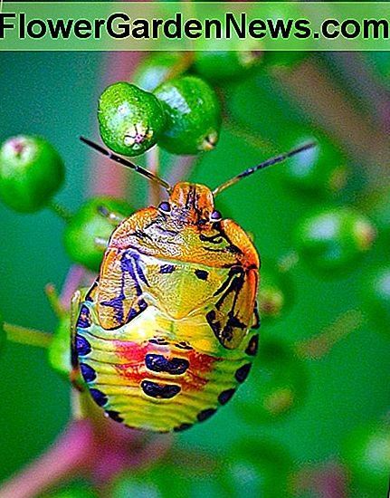 Stink Bug Befolkning Stigende i USA