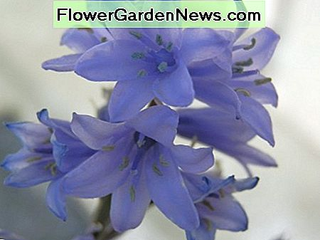 Spanish bluebell close up