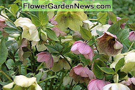 Hellebore is a beautiful shade plant