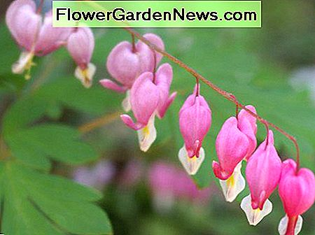 Bleeding Heart/Dicentra flowers