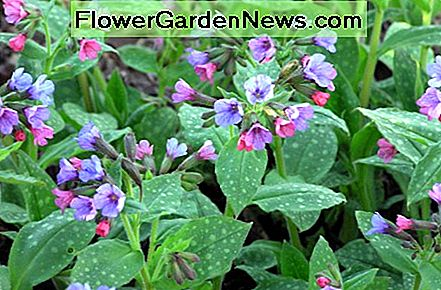 Lungwort provides foliage in the winter and blooms early in the Spring with tiny, cold resistant flowers.